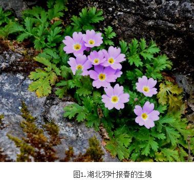 湖北羽叶报春——报春花属新种