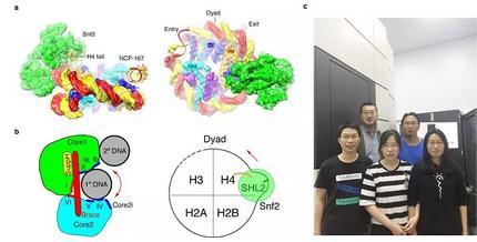 《Snf2-核小体复合物结构揭示的染色质重塑机理》