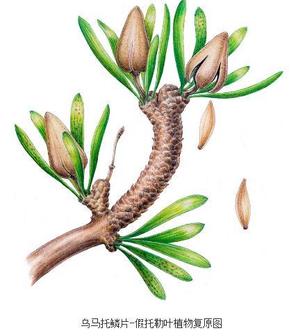 白垩世植物群中苏铁杉、假托勒叶起源和系统发育关系研究