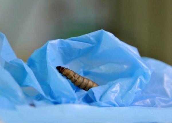 毛毛虫爱吃塑料或能解决全球塑料袋污染难题