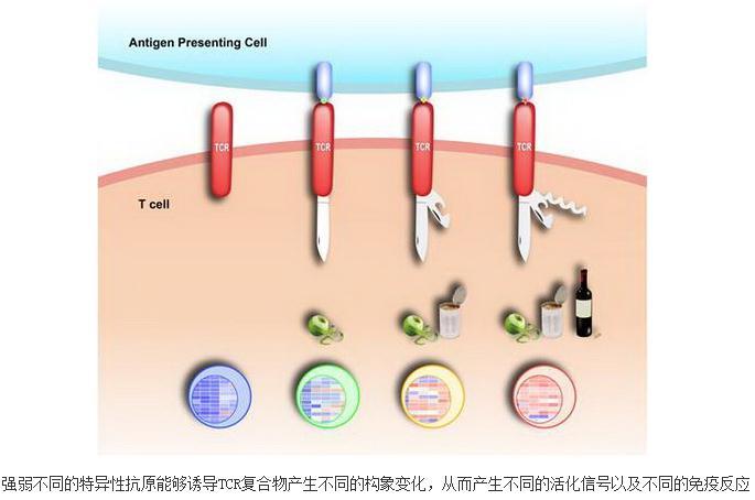TCR复合物胞内段的结构动态性及信号传导