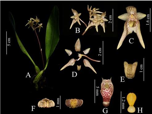 石豆兰属新种Bulbophyllum putaoensis Q.Liu