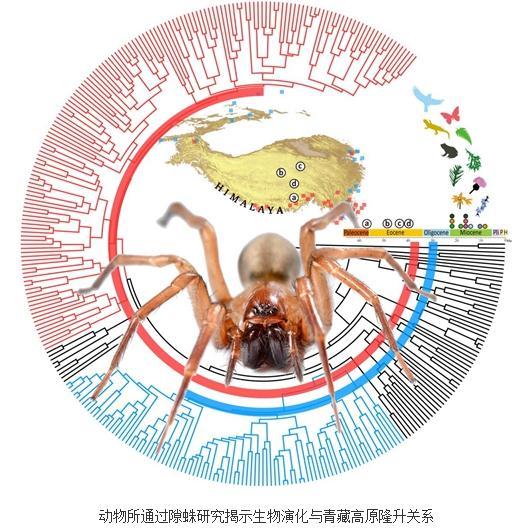 通过隙蛛研究揭示生物演化与青藏高原隆升关系