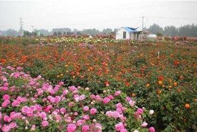 河南省亢北村新奥月季园年生产月季300万株