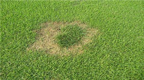 草坪常见病害发病时间、症状、防治方法