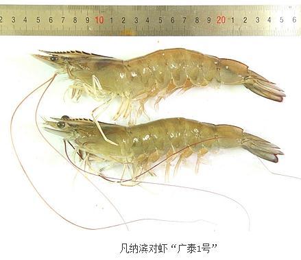 """凡纳滨对虾""""广泰1号""""与""""科海1号""""有何区别"""