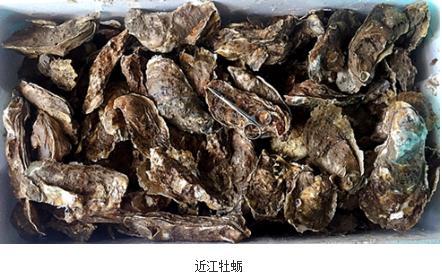 在渤海湾山东海域发现一个近江牡蛎自然种群