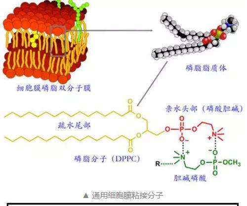 细胞膜仿生的磷酸胆碱分子——高效的药物载体材料