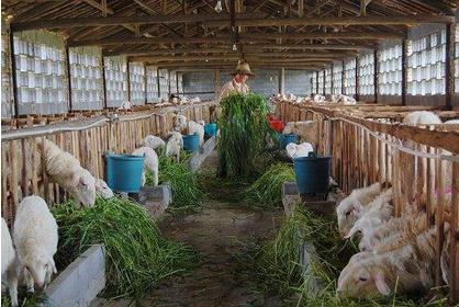 现代化养羊除了学习技术更要转变观念