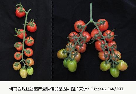 怎么才能提升蕃茄的产量?利用转基因技术可使产量翻倍