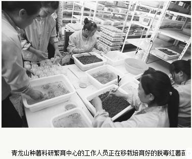 奈曼:赵茂林培育出脱毒红薯苗比非脱毒普通苗每亩增产67%