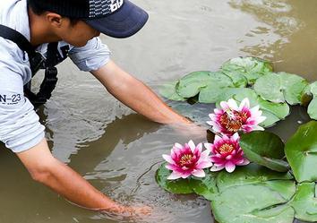 """陕西省西安植物园出现""""三花并蒂""""睡莲"""