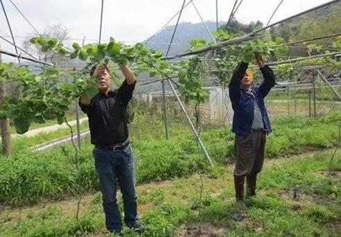 猕猴桃抹芽定梢的好方法