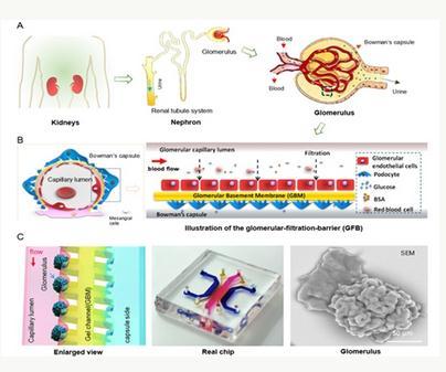 利用器官芯片技术构建一种功能化肾芯片系统用于模拟糖尿病肾病早期病理变化
