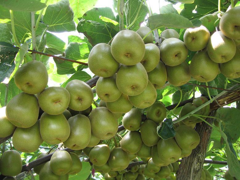 夏季猕猴桃防护措施介绍