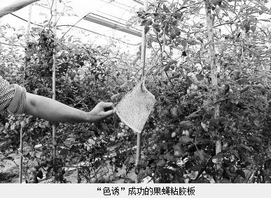 万甜瓜果园:现代大棚与原始'以虫治虫'生物链生产结合