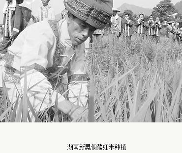 湖南新晃的侗藏红米营养成分,侗藏红米多少钱一斤