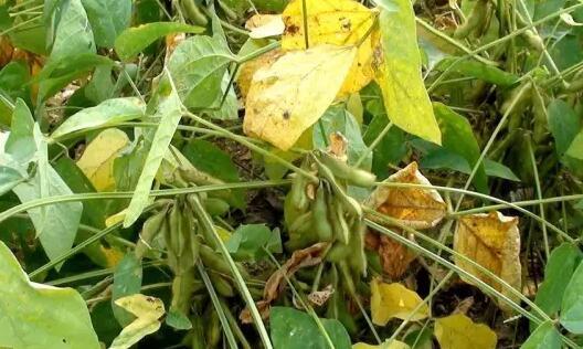 大豆黄叶病的发病原因