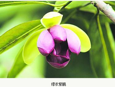 绿衣紫鹃新品种成立:长叶木兰为母本、美丽二乔玉兰为父