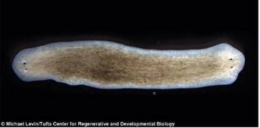 """扁形虫身体再生能力的""""隐形代码""""能够帮助专家未来成功再生人类器官和肢体"""