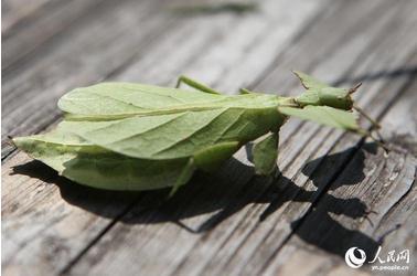"""云南省普洱市发现""""会走路的叶子""""实为罕见的竹节虫品种"""