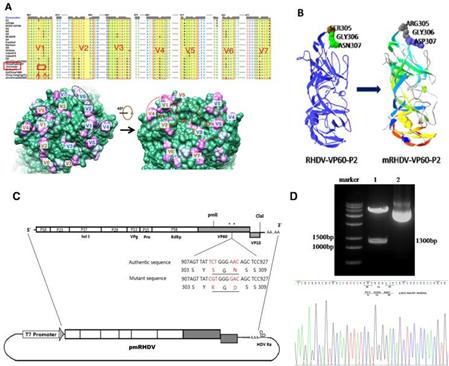 RHDV致病机理研究和疫苗研发进展:已解决兔瘟体外增殖的关键技术