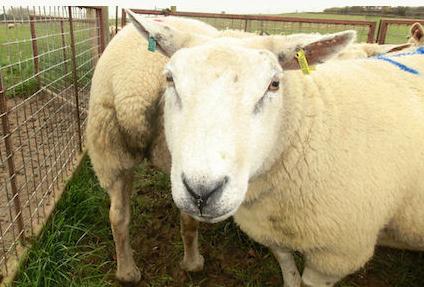 借力人工智能识别羊群痛苦状态