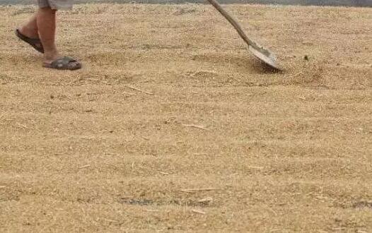 夏天晒麦有技巧  晒好晒坏直接影响小麦价格