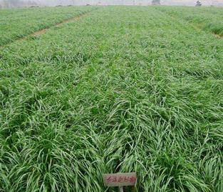 养羊种什么牧草好?常年供应牧草种植模式有哪些?