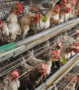 自动化蛋鸡养殖设备有哪些?