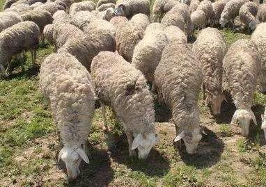 养羊哪个品种好?引种注意事项(经验分享)