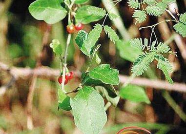 海南茄的药理作用与功效
