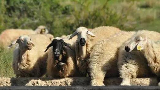 怎么才能使羊少生病?羊病受哪些方面影响?
