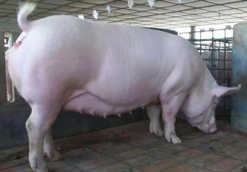 造成母猪假妊娠(空怀母猪)的原因有哪些?