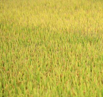 耐盐水稻新品种在海水倒灌农田亩产为400kg以上