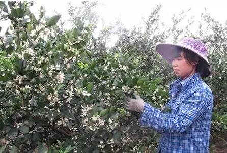 柑橘保花保果的主要技术措施有哪些?