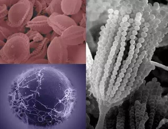 致病真菌烟曲霉来源