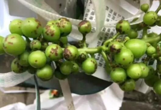 如何提升葡萄糖度等葡萄种植技术18问答【藏】