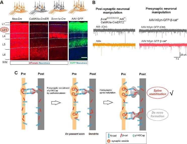 《Cadherin/Catenin/p140Cap复合物在稳定皮层树突棘和功能性突触中的重要功能》