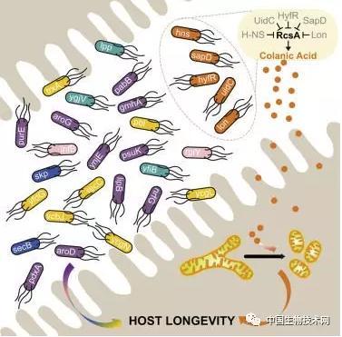 系统研究了共生细菌与宿主衰老的关系