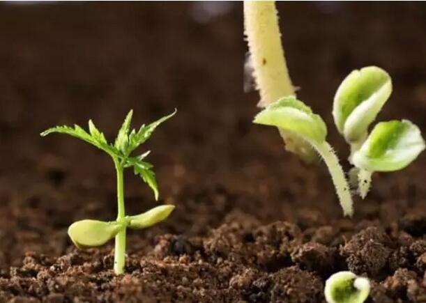 枯草芽孢杆菌在土壤中有什么作用