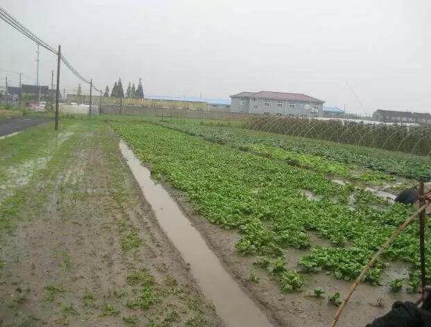 暴雨后蔬菜应该如何解救