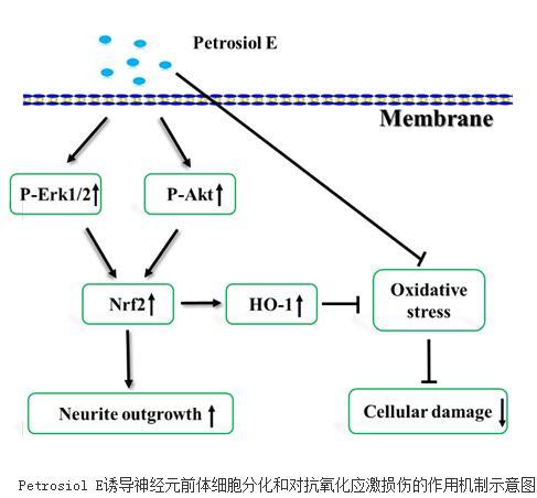 人工全合成新型化合物Petrosiol E促神经元分化与抗氧化应激效应