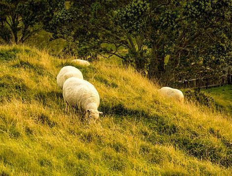 夏季羊掉膘怎么解决?夏季怎么让羊长肉?
