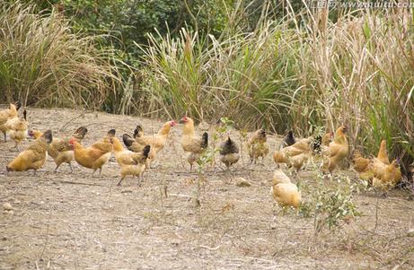 散养生态鸡育雏阶段、放养阶段的饲料配制方法