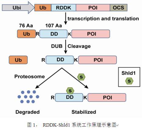 利用RDDK-Shld1系统直接精细调控单子叶作物体内蛋白水平