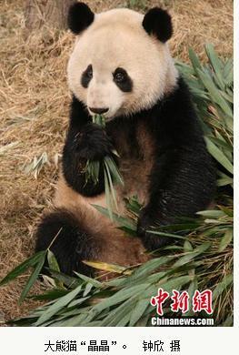 """""""晶晶""""是完成""""大熊猫基因组草图""""的世界第一只大熊猫"""
