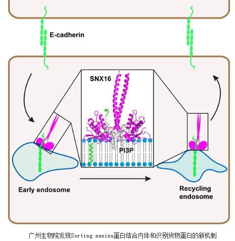 SNX16通过独特的内体结合和货物蛋白识别机制