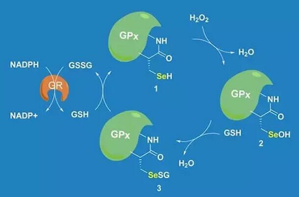 消解活性氧的酶类活性下降
