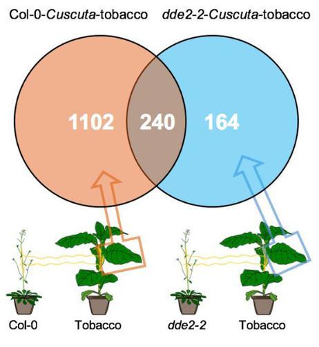 菟丝子能在不同寄主植物间传递有生态学效应的抗虫系统性信号